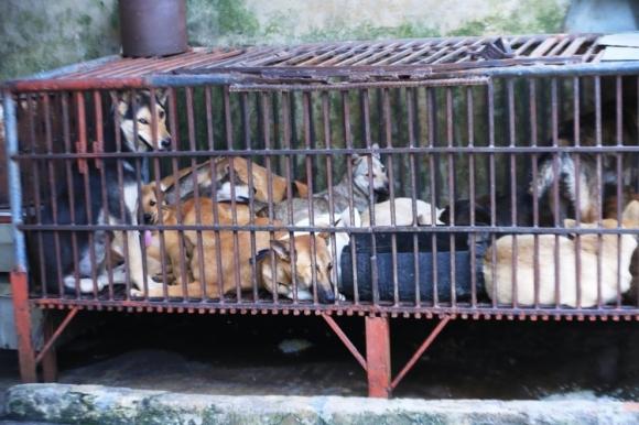 Hình ảnh những con chó trong lồng chờ bị giết thịt