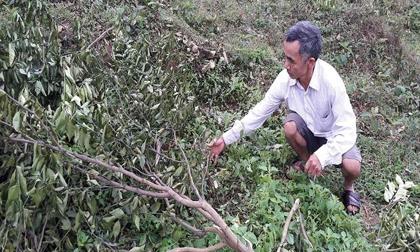 Hàng trăm cây cam Tết của thương binh nghèo bị chặt phá
