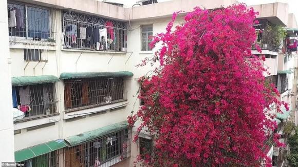 Choáng ngợp cây hoa giấy khổng lồ gần 30 tuổi chảy dài như thác nước phủ kín tòa nhà 9 tầng, trở thành tâm điểm hút khách du lịch - Ảnh 4.