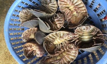 Nhà giàu Việt chi tiền triệu 'săn lùng' bọ biển khổng lồ làm mồi nhậu