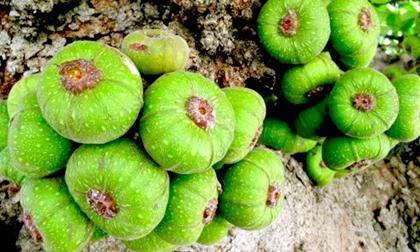 Loại quả mọc đầy gốc nhưng rất ít người ăn lại có tác dụng chữa bệnh thần kỳ