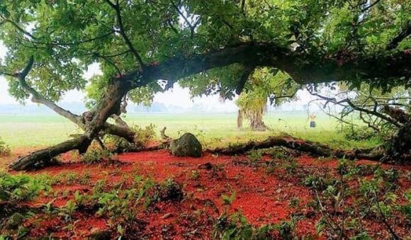 Chiêm ngưỡng sắc đỏ tuyệt đẹp của hoa lộc vừng ngàn năm tuổi ở gò Vình - 4