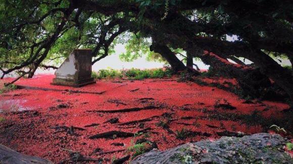 Chiêm ngưỡng sắc đỏ tuyệt đẹp của hoa lộc vừng ngàn năm tuổi ở gò Vình - 7