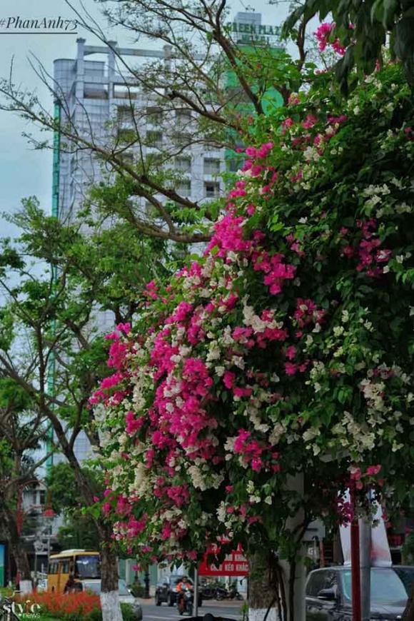 Xao xuyến mùa hoa giấy nở thắm ven sông Hàn Đà Nẵng - 4