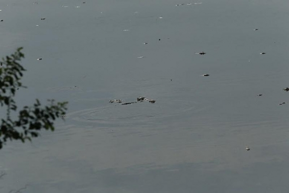 Cá chết đầy mặt hồ Yên Sở bốc mùi hôi thối, công nhân vệ sinh vớt cá suốt 2 ngày - 1