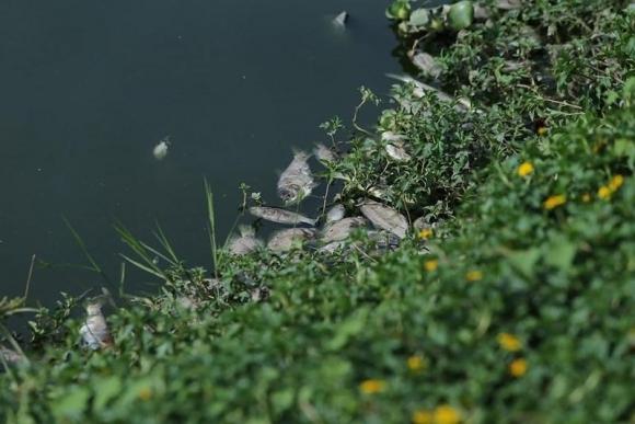 Cá chết đầy mặt hồ Yên Sở bốc mùi hôi thối, công nhân vệ sinh vớt cá suốt 2 ngày - 3