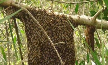 Bị ong rừng tấn công, 1 người tử vong, 3 người bị thương