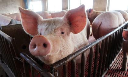 Tết nguyên đán thiếu thịt lợn, giá tăng mạnh suốt năm 2020