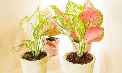 3 loài cây mang dòng dõi Đế vương, 'con cưng' của Thần Tài, đặt trong nhà sẽ thay đổi vận khí hút tài lộc