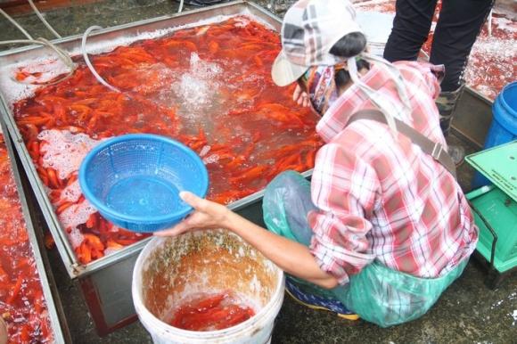 Theo đó, 1 kg cá chép đỏ được khoảng 40 con, bán buôn với giá 60-70.000. Riêng đối với những mua hàng chọn thì giá cũng tăng lên so với mặt bằng khoảng 5000 đồng.