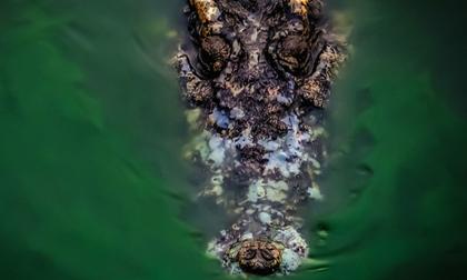 Phát hiện thi thể người trong bụng cá sấu dài 4 m