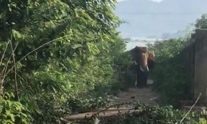 Voi nhà ở Đắk Lắk húc chết người: Nạn nhân đã chăm sóc voi 4 năm