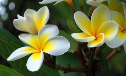 Những loại hoa 'phá phong thủy' đẹp mấy cũng không được để trong nhà, số 3 được rất nhiều người thích