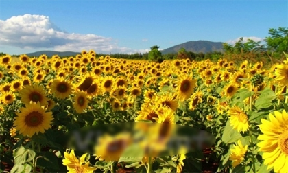 Ngất ngây ngắm cánh đồng hoa hướng dương rực rỡ ở Lâm Đồng