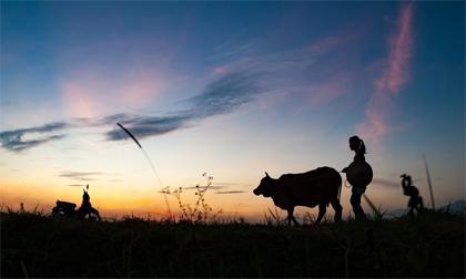 Mùa gặt trên cánh đồng Bắc Bộ