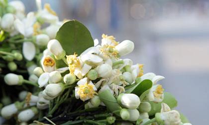 Chùm ảnh: Mùa hoa bưởi dịu dàng xuống phố