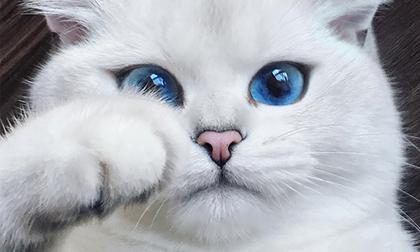 Chiêm ngưỡng 10 chú mèo nổi tiếng và đẹp nhất thế giới