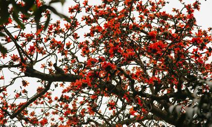 Hà Nội những ngày tháng ba, những nhành hoa gạo rực đỏ cả góc trời