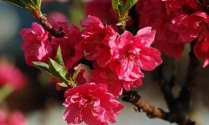 Hoa đào tươi trong nắng, mùa xuân đến thật rồi