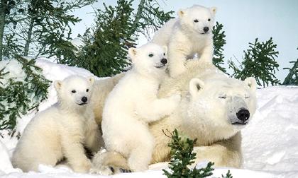 Gấu trắng Bắc Cực tuyệt đẹp dưới ống kính nhiếp ảnh