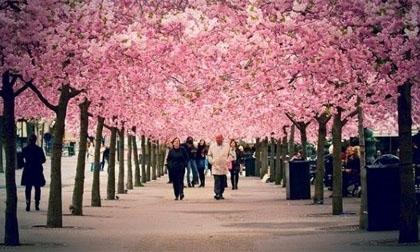Những thành phố đẹp nhất mùa hoa anh đào