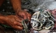 Cảnh tượng lột da rắn rợn người ở Indonesia