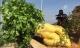 Củ cải khổng lồ dài 1,2 mét và nặng khoảng 14 kg