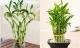 Bí quyết trồng Trúc Phú Quý đem lại tài lộc cho gia đình