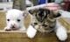Kỳ lạ mèo sinh ra chó Chihuahua gây xôn xao