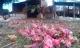 Thanh long rớt giá, nông dân Bình Thuận đổ cho bò ăn
