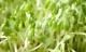 Cẩn trọng với rau mầm chứa hóa chất bảo quản