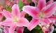 Cách chọn và giữ hoa ly tươi lâu