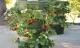 Cách trồng dâu tây trong tháp cực đơn giản cho quả sai nặng trĩu