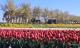 Vườn hoa tulip đẹp như tranh và 'bí kíp' chăm hoa nở đúng Tết của mẹ Việt ở Hà Lan