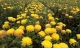 'Thiên đường hoa cúc' tiền tỷ đẹp đến nao lòng ngày giao mùa