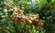 Bé 9 tuổi ngộ độc nghiêm trọng sau khi ăn nhãn, kiểm tra cây trong vườn mới biết lý do